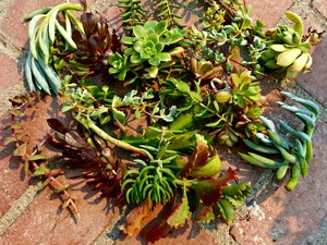 Tips for Success When Propagating Plants From Softwood Cuttings