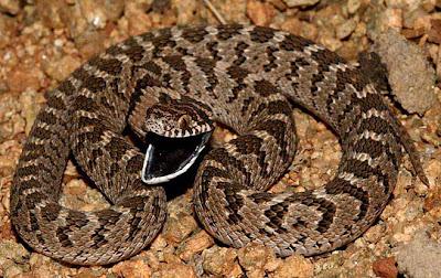 Serpiente comedora de huevos Dasypeltis scabra