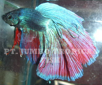 Fighting fish betta complete display pt jumbo for Biggest betta fish