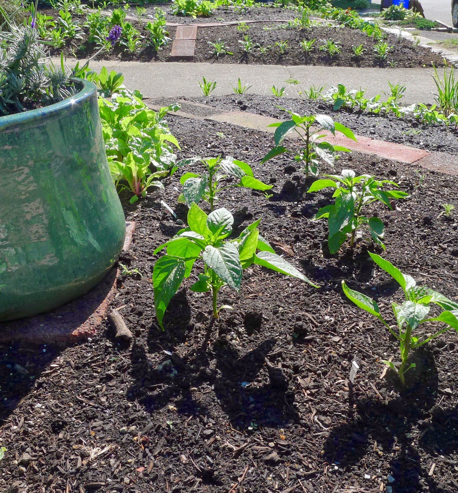 Sweet and Hot Peppers, using vegetables in an edible landscape