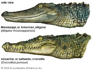 Alligator Vs. Crocodile
