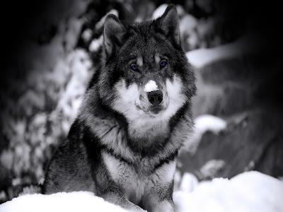 http://4.bp.blogspot.com/-3eWLumjjb1g/TztSO_gP9hI/AAAAAAAAPp4/axSEpWsNDNw/s1600/-Wolves-wolves-10291441-1024-768.jpg