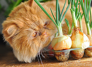 Red persian cat and onion plants