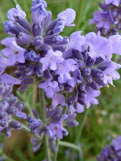 Lavendel ist nicht gleich Lavendel !!