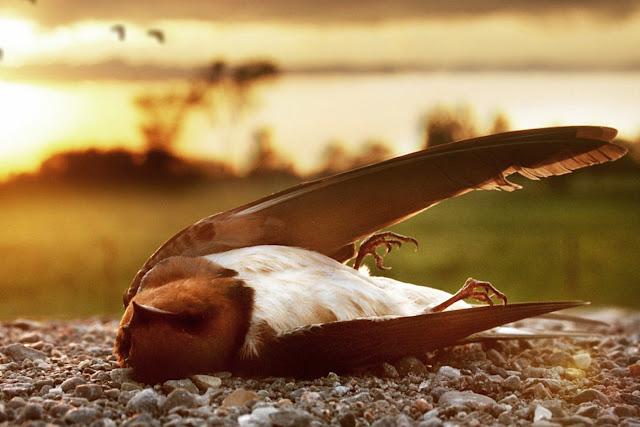 Død fugl / Dead bird