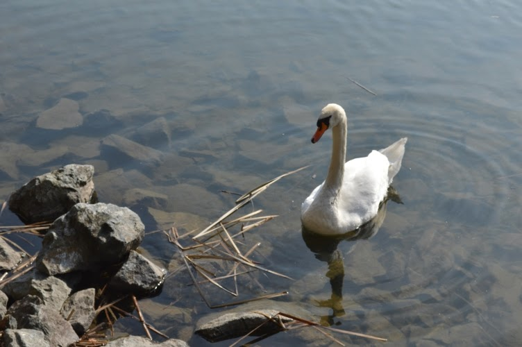 white swan, pool