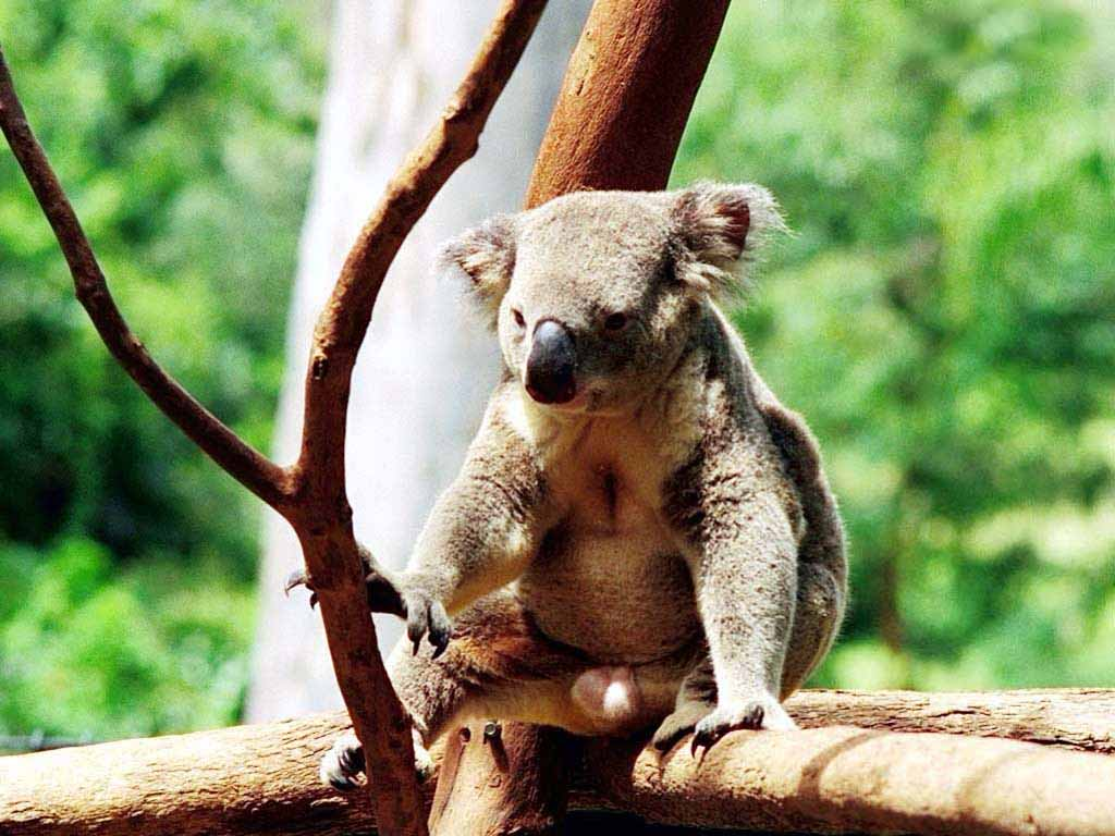 What does a koala bear look like 11