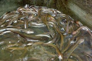 cara budidaya ikan sidat di jawa timur,sidat di kolam terpal,sidat di kolam beton,harga ikan sidat,sidat,ikan lele,
