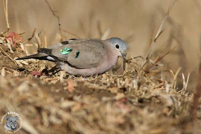 palomas en el mundo palomita aliverde Turtur chalcospilos