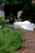 White Cochin bantam