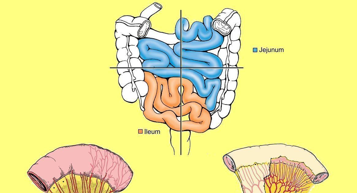 Anatomía UNAM: YEYUNO -ÍLEON