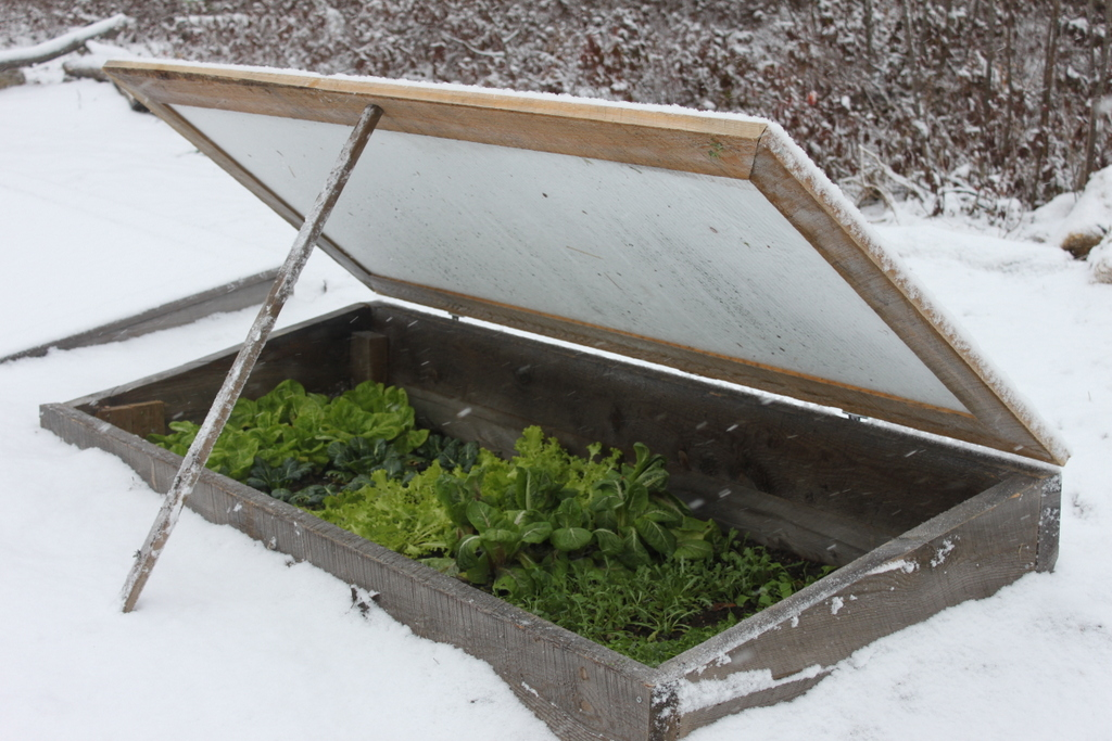 It's a hint of spring when I pop open the top of my cold frames to harvest