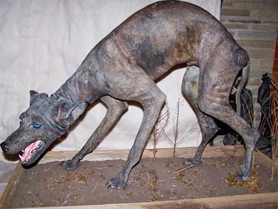 Chupa-cabra Bluedog do Texas empalhado