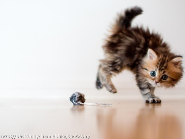 funny kitten playing.