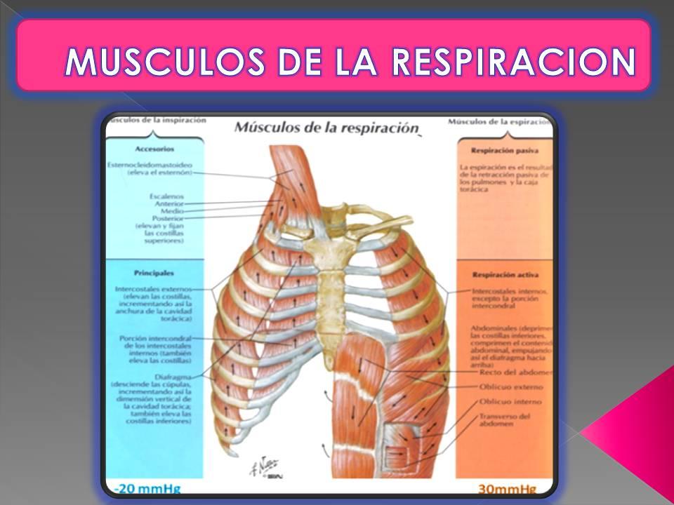 Hermosa Los Músculos De La Respiración Elaboración - Imágenes de ...