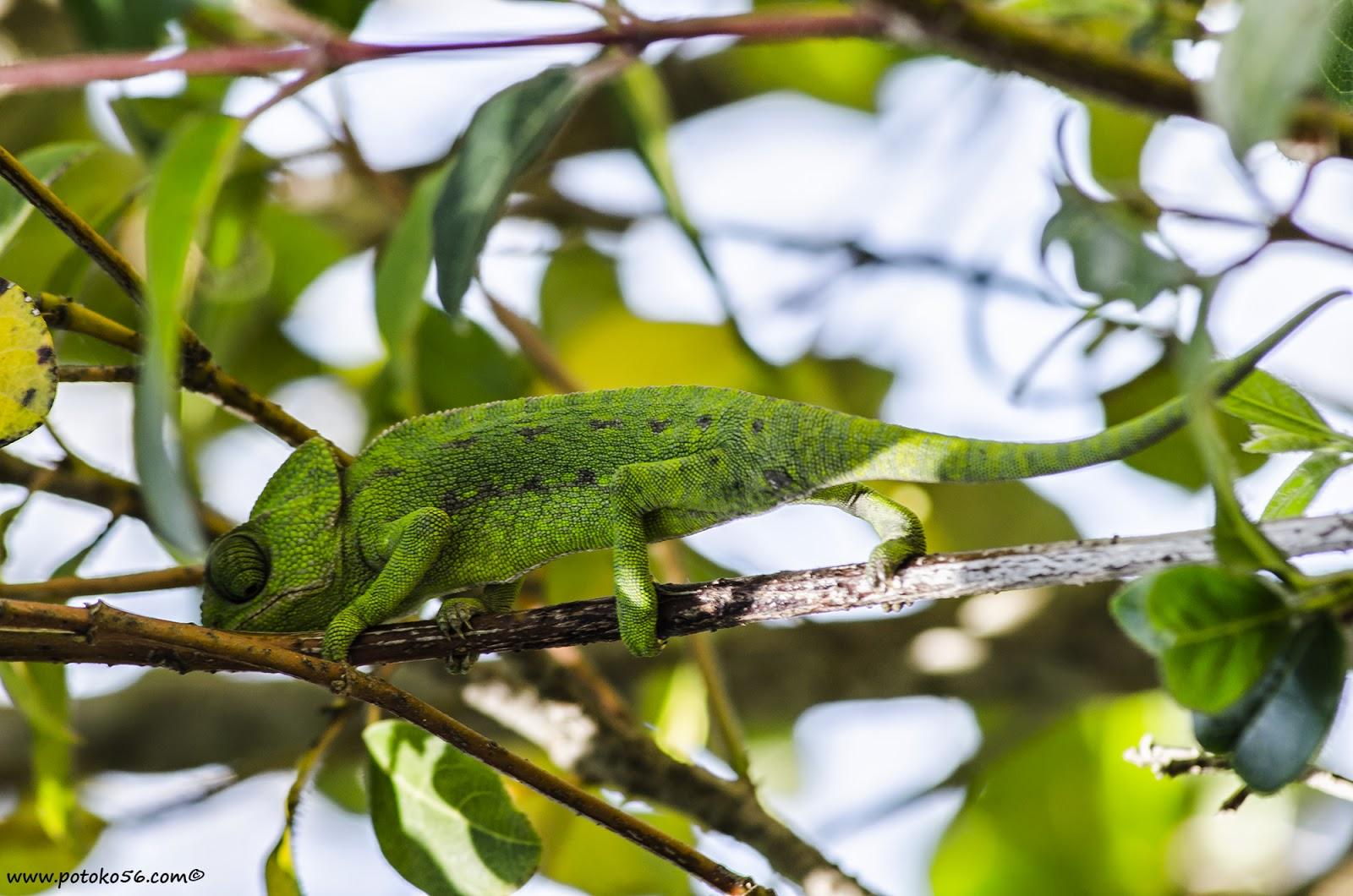 Parapetado en la rama un Camaleón Roteño espera que algún insecto se coloque para con su larga lengua ser engullido