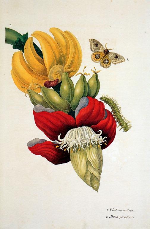 Maria sibylla merian цветы и насекомые