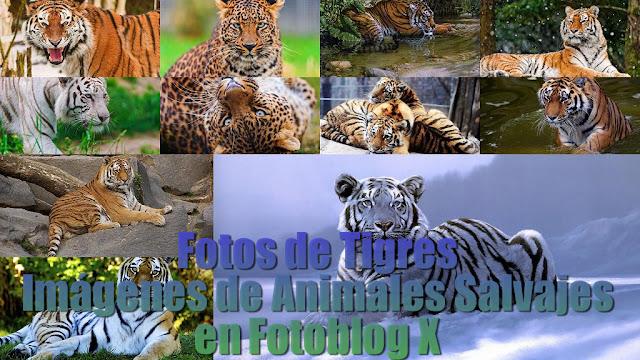 Fotos de Tigres - Imagenes de Guepardos Animales Salvajes en Fotoblog X Panthera