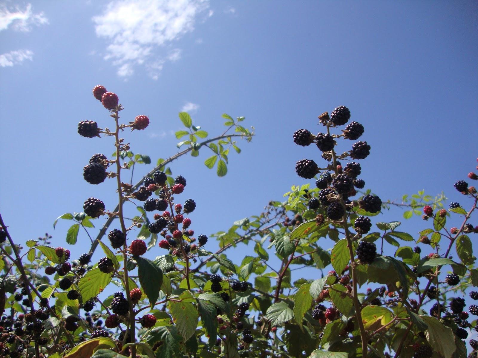 Mûres ronces arbustes