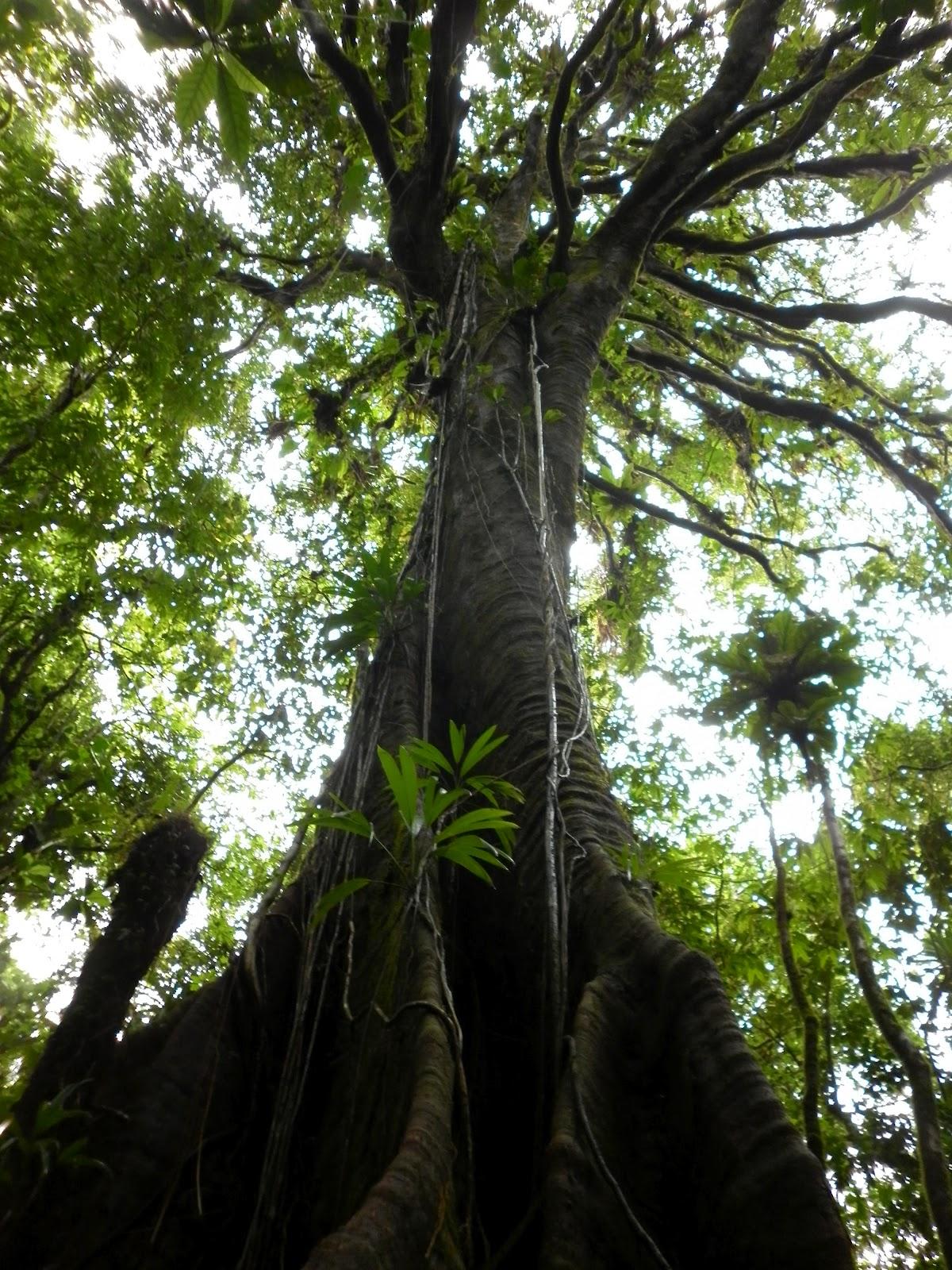 Préférence Symbiose Caraibes Compléments: L'arbre et la forêt tropicale RF15
