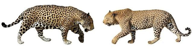 diferenças-entre-onça-e-leopardo