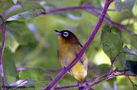 Burung Arfak pleci kacamata