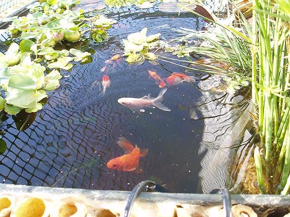 Todo sobre las mascotas los peces como mascotas for Plantas para estanque peces koi