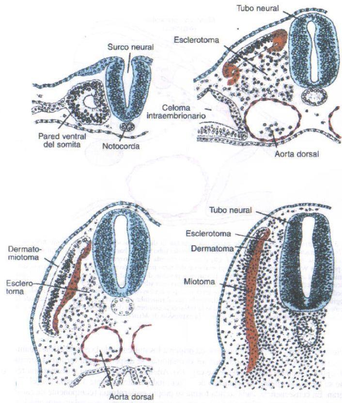 EMBRIOLOGÍA DEL SISTEMA MUSCULAR | Medicina9