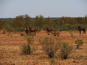More brumbies