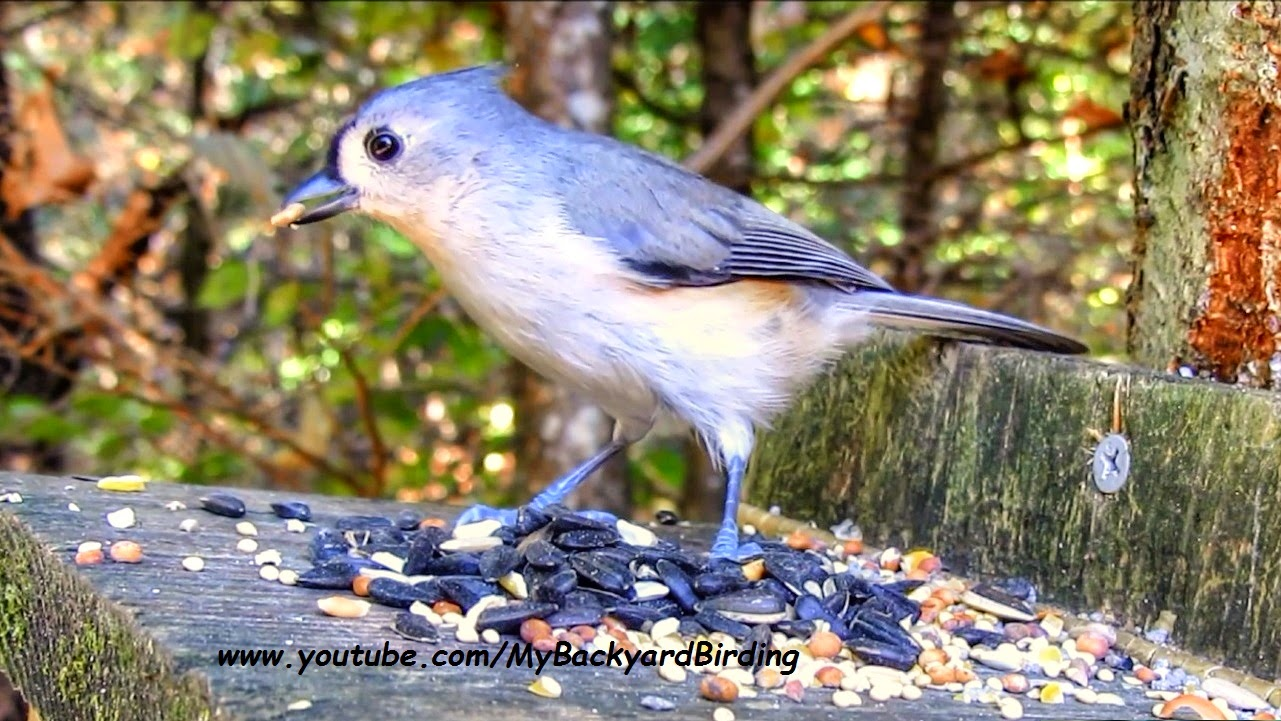 Tufted Titmouse Call