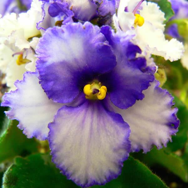 im genes de flores y plantas violeta