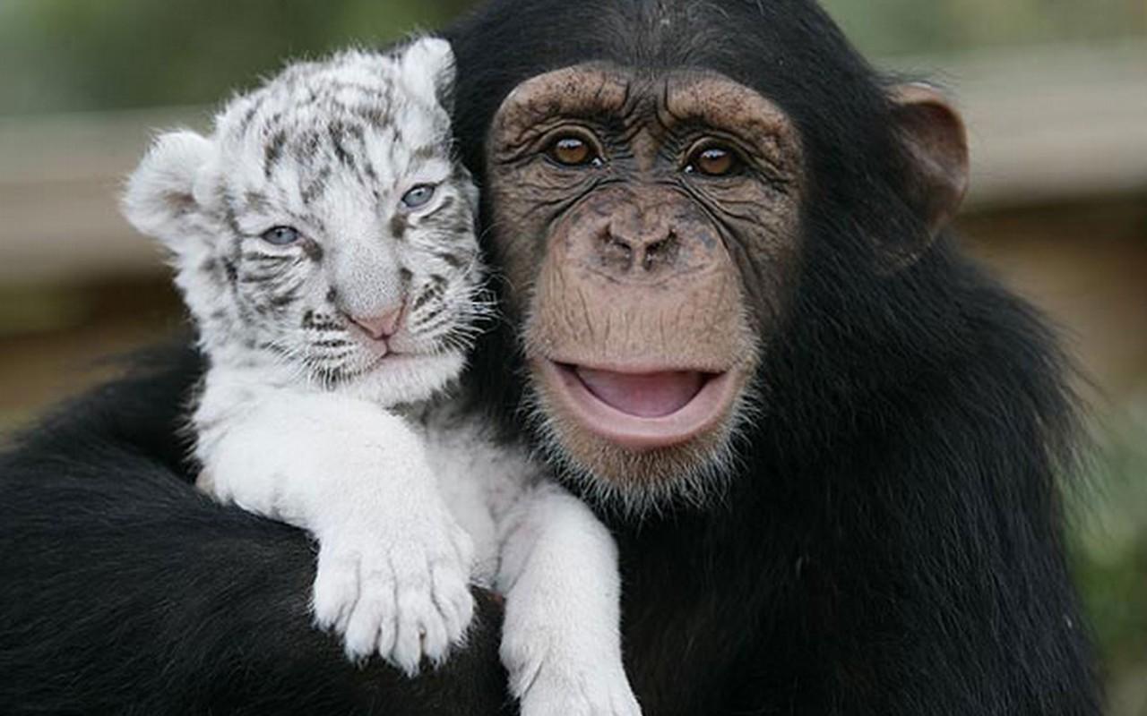 http://4.bp.blogspot.com/-3jIJvt3htIU/TVvDr210SuI/AAAAAAAAISk/AuUignFDW8g/s1600/Chimpanzee+pictures+%25284%2529.jpg