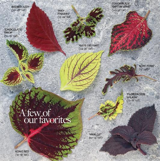 Coleus plants varieties