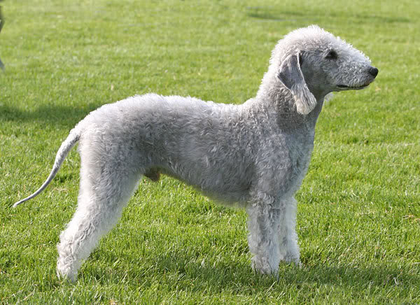 Bedlington Terrier Dogs Pets Cute And Docile