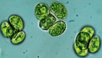 Algas - Características, reprodução e habitat