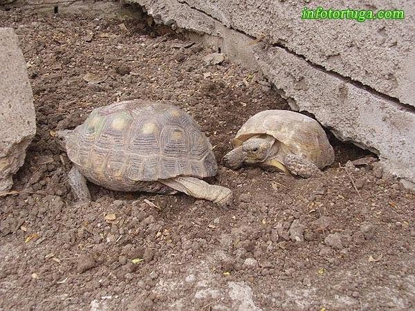 Gopherus berlandieri - Tortuga de desierto de Texas