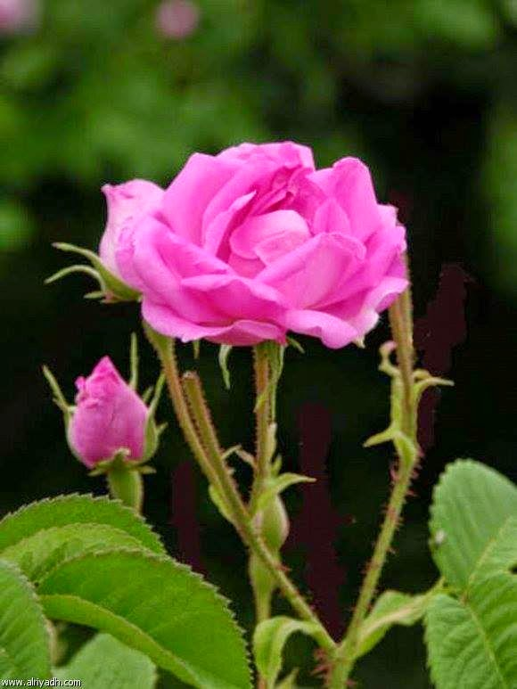 Beautiful Pink Flower