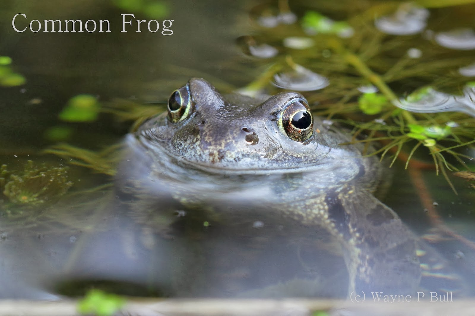 ... have finally emerged in my pond common frog common frog common frog