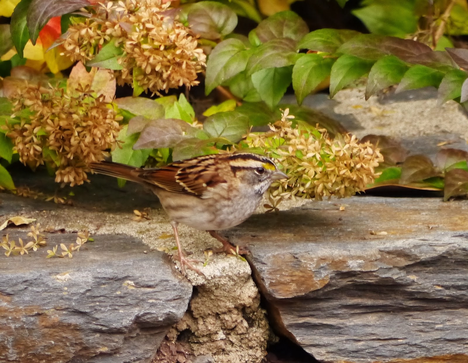 The wildlife garden in the h l blomquist garden of native plants - White Throated Sparrow