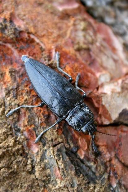 Chalcophora detrita margotana