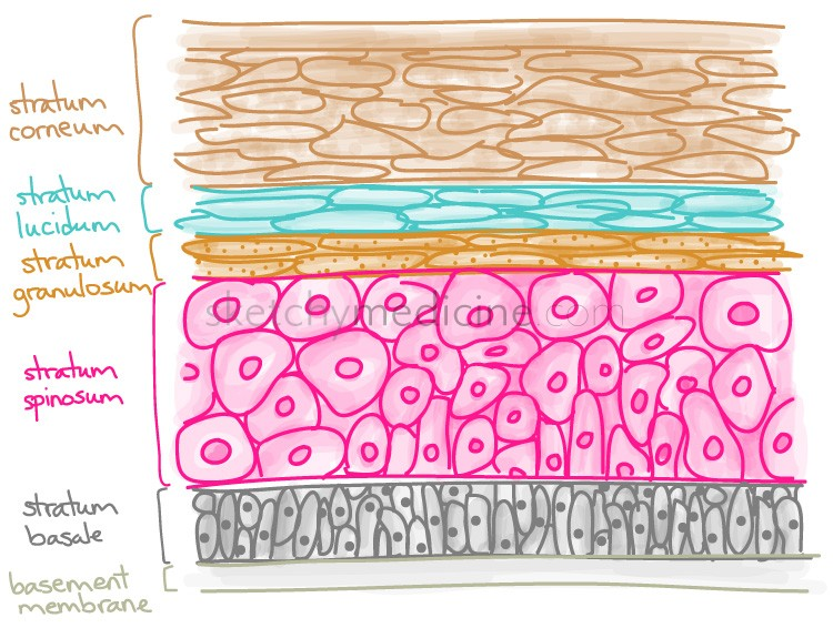 Medicowesome Mnemonic For The Layers Of The Skin Epidermis