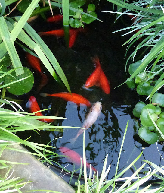 365 sewn hearts goldfish for Small goldfish pond