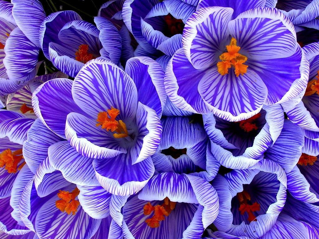 wallpaper purple flower Photo