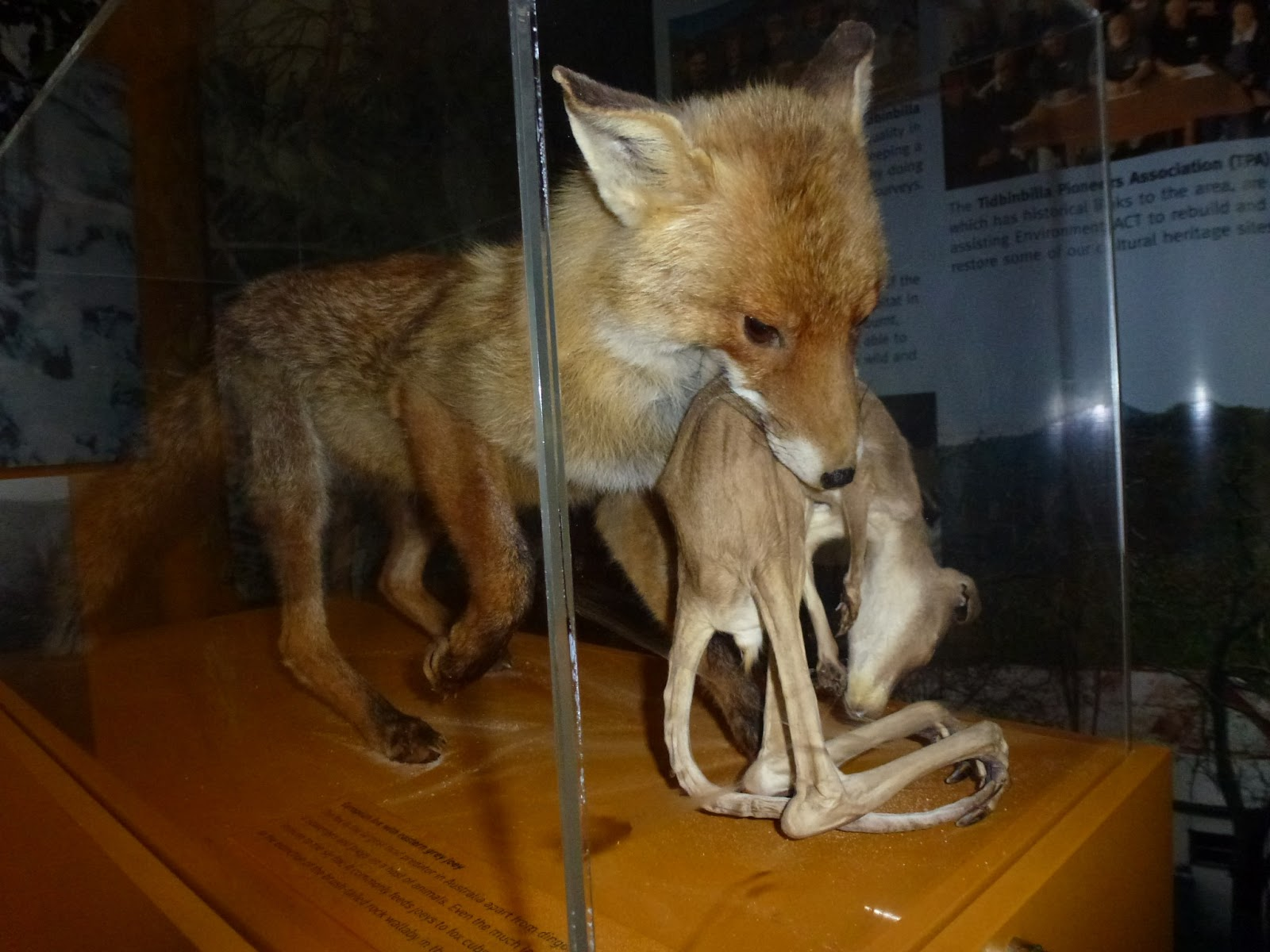 how to get rid of foxes in australia