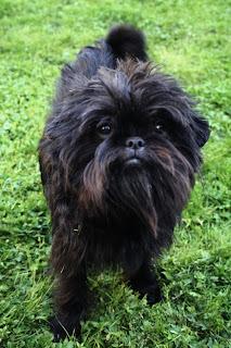 Anjing Affenpinscher Lucu
