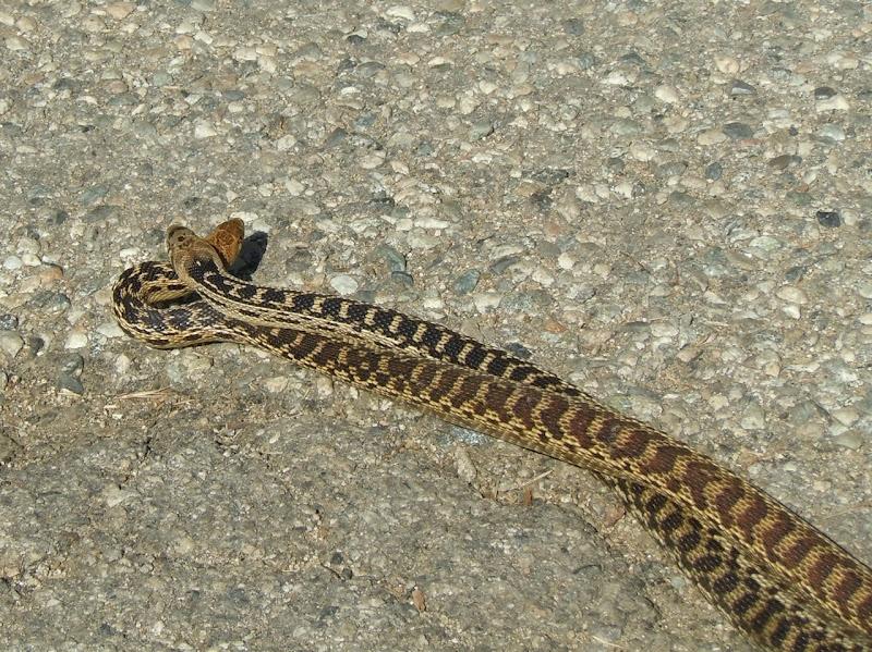 Gopher snakes Runyon Canyon