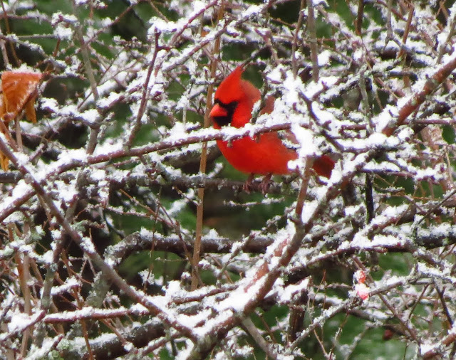 cardinal in first snow
