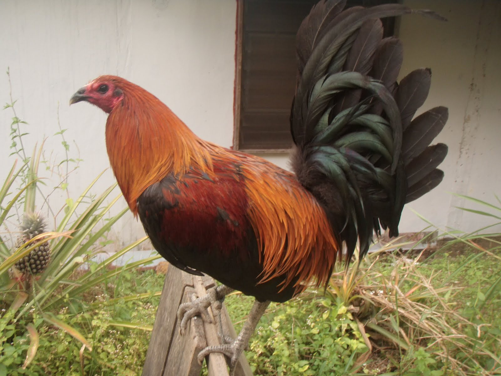 Brown Red Gamefowl http://manoksabong-mark.blogspot.com/2011/08/enkechong-dark-red-mark.html