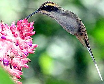 Colibrí picando una flor
