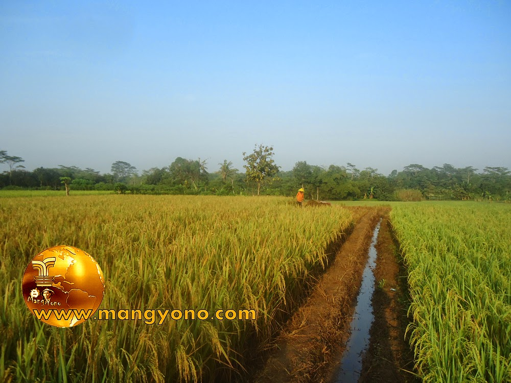 FOTO : Panen padi 3 – Ini Tanaman padi saya di blok Tegalsungsang yang sedang dipanen